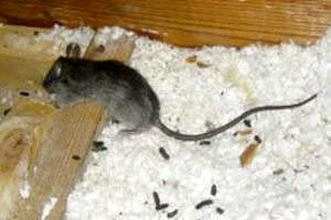 rodent droppings in insulation